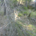 Spider in the morning light near the Kedumba River (316592)