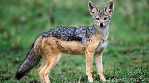 Adult Black-Backed Jackal, Masai Mara, Kenya.jpg