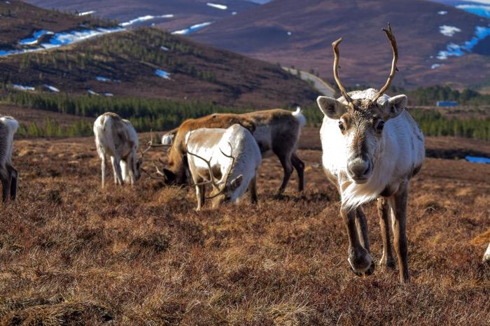 reindeer herd in Scotland
