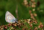 Stregblåfugl - eumedon3.jpg