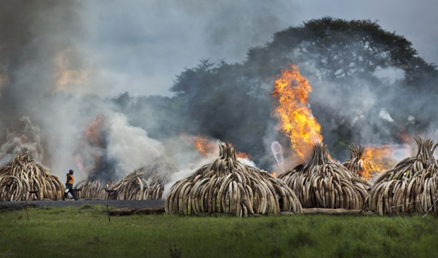A worker carries spray bottles of gel fuel to help the burning, as he walks past pyres of ivory that were set on fire in Nairobi National Park, Kenya Saturday, 30 April 2016. Kenya's president Saturday set fire to 105 tons of elephant ivory and more than 1 ton of rhino horn, believed to be the largest stockpile ever destroyed, in a dramatic statement against the trade in ivory and products from endangered species. Photo: Ben Curtis / AP Photo