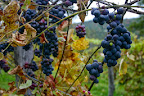 Grapes are ripening!