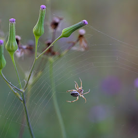 Sunlit spider and web by Lee Newman - Nature Up Close Webs ( fresh, web, spider, garden, early morning )