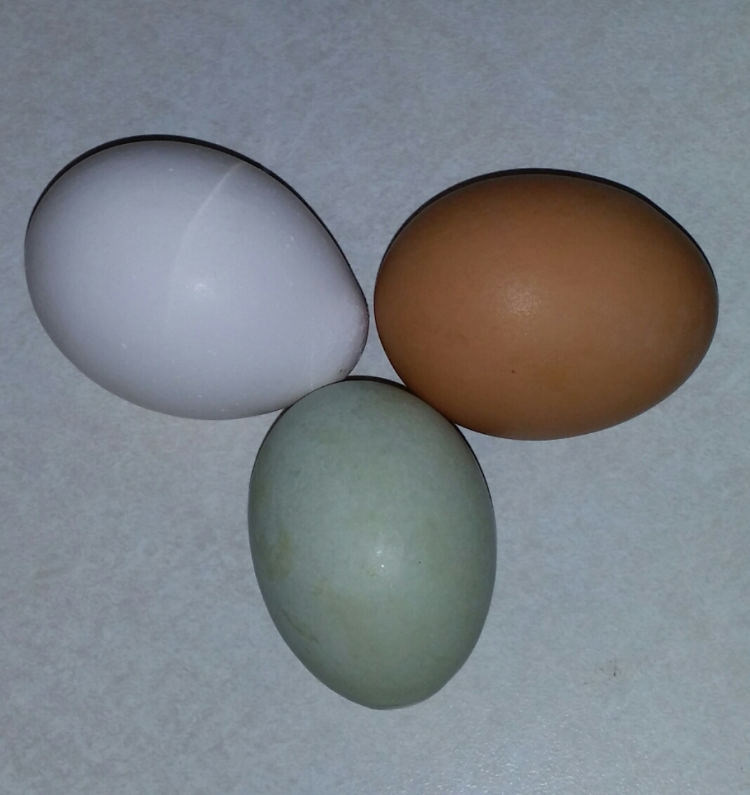 Jumbo Brown Eggs Laying Chickens