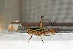 En flot græshoppe sidder ved vores værelse.