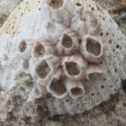 Thailand close up - barnacles on a shell