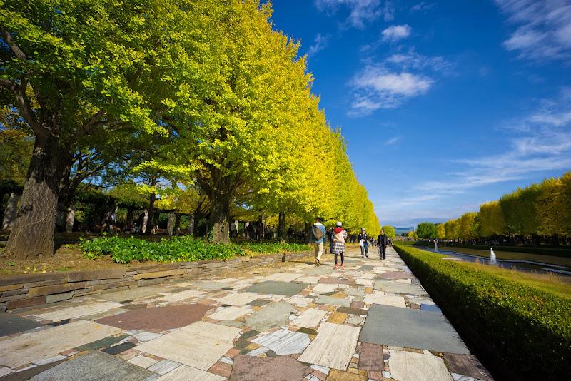 昭和記念公園 カナール イチョウ並木 写真4