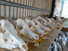 A line up of wild boar skulls for clients.