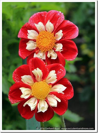 160906_Butchart_Gardens_0097
