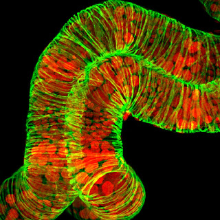 A confocal image of developing eggs from the ovary of the parasitic wasp Microplitis demolitor (green represents actin filaments and red represents nuclei). LSM 710. Imaged by Kandasamy, BMC. Slide courtesy of Jena Johnson, Strand lab.