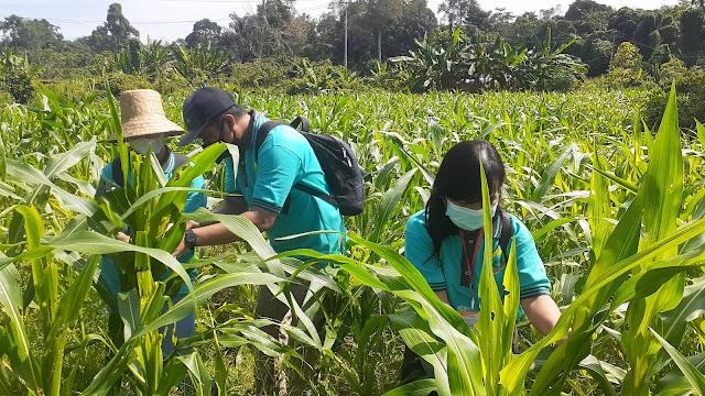 Perkuat Kapasitas Penyuluh di Bartim, BBPP Binuang Gelar Pelatihan Pengendalian OPT dan Pasca Panen Jagung