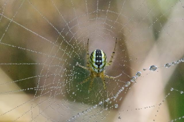 Araneidae : Mangora acalypha (Walckenaer 1802). Chemin de La Rodé (660 m), Cocurès (Lozère, France), 5 août 2014. Photo : J.-M. Gayman
