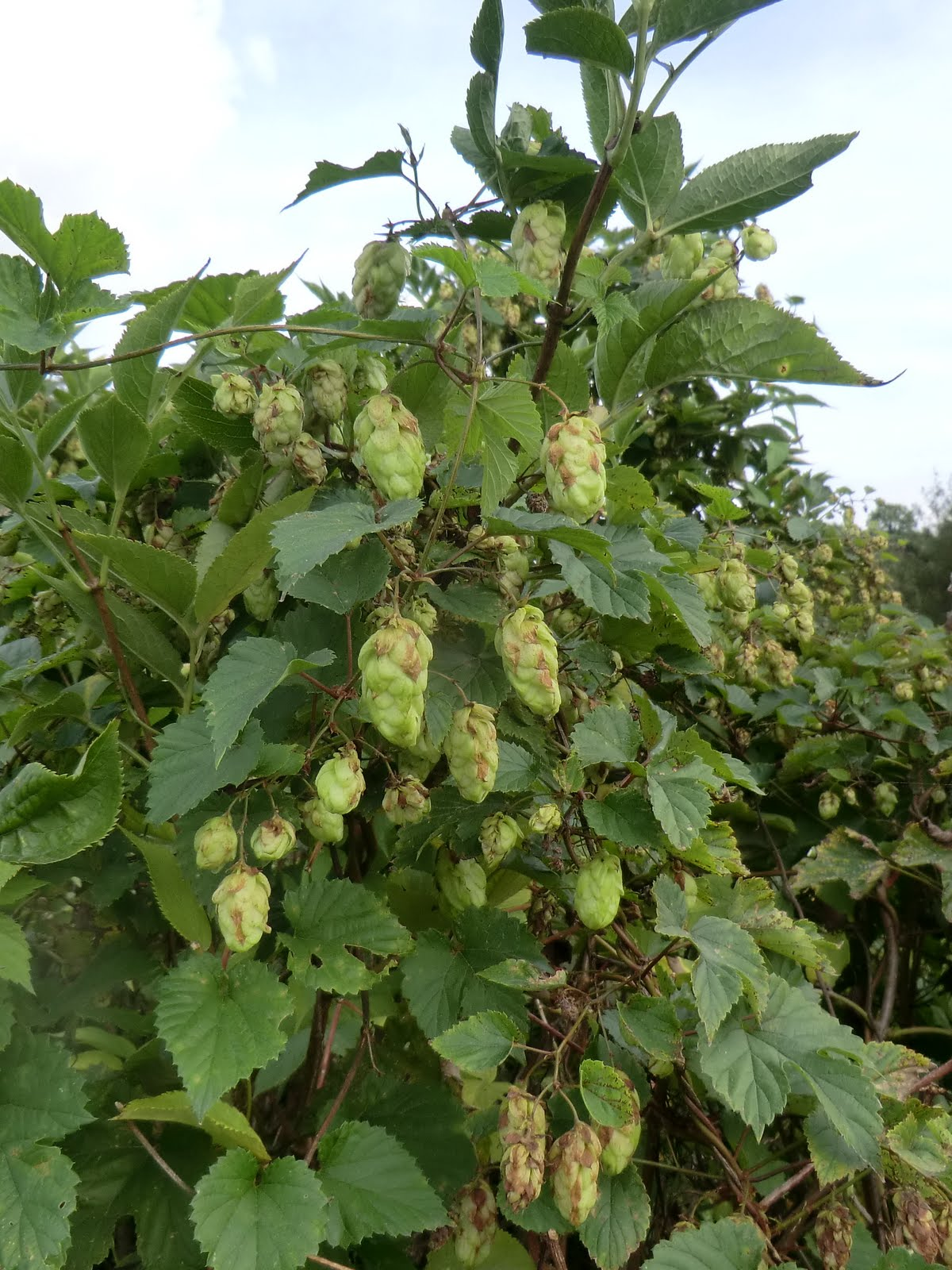 CIMG4756 Hops in hedgerow, North Stoke