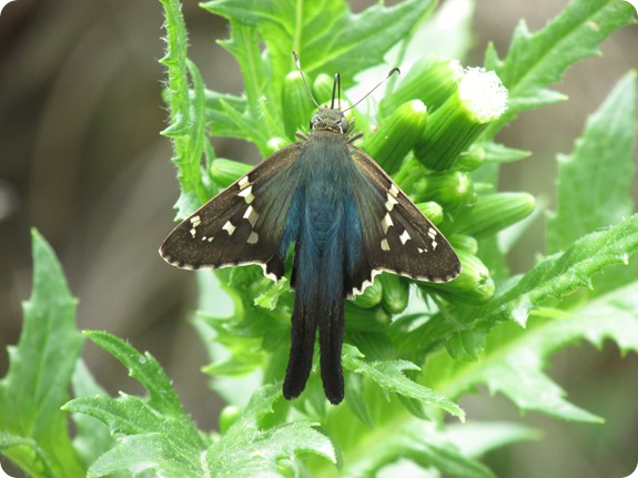 Long-tailed Skipper Urbanus proteus Butterfly (2)