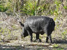 wildlife-wild-boar-5.jpg