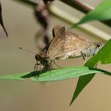 Couple d'Hesperiidae : Decinea percosius (GODMAN, [1900]) (?). Sentier de la Roche Bateau, près de Point Chaud (Saül), 14 novembre 2012. Photo : J.-M. Gayman