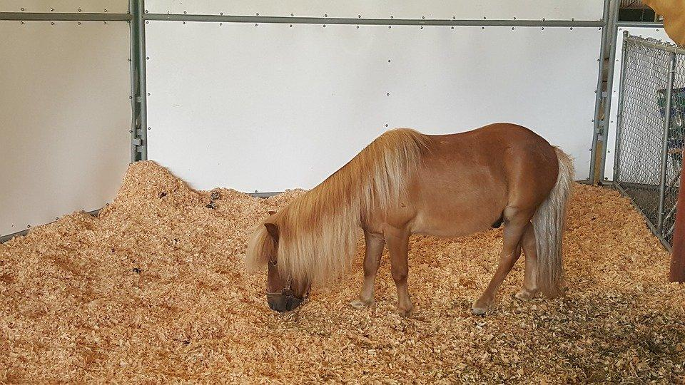 Pony, Miniature Pony, Miniature Horse, Farm, Livestock