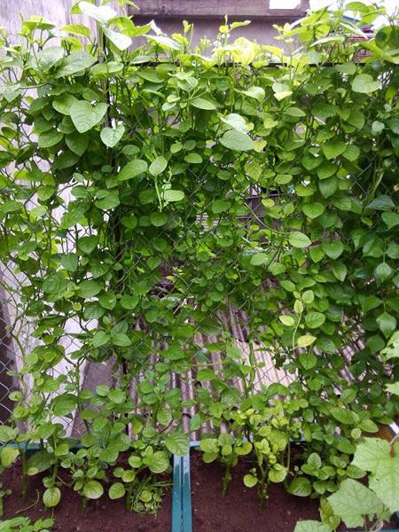Khu vườn gọn gàng với rèm mồng tơi xanh mướt - 55c0333de9241
