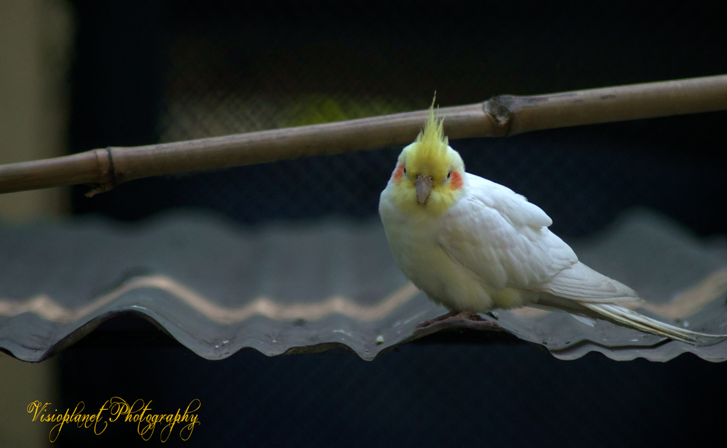 Tweety Pie by Sudipto Sarkar on Visioplanet