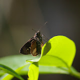 Hesperiidae. Pulso (Ubatuba, SP), 12 février 2011. Photo : J.-M. Gayman