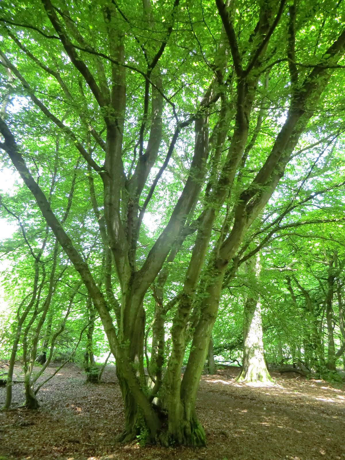 CIMG6912 Hornbeam coppice in Banstead Wood
