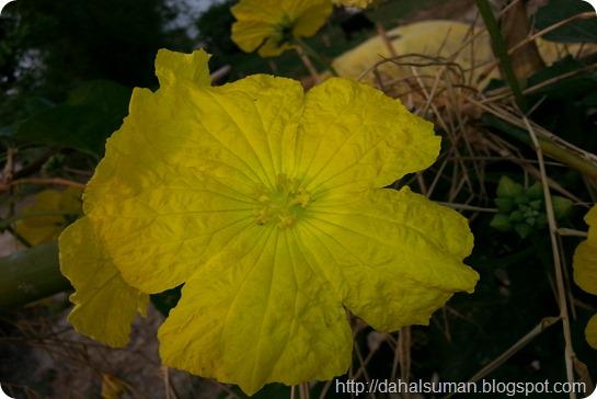 Sponge Gourd (1)