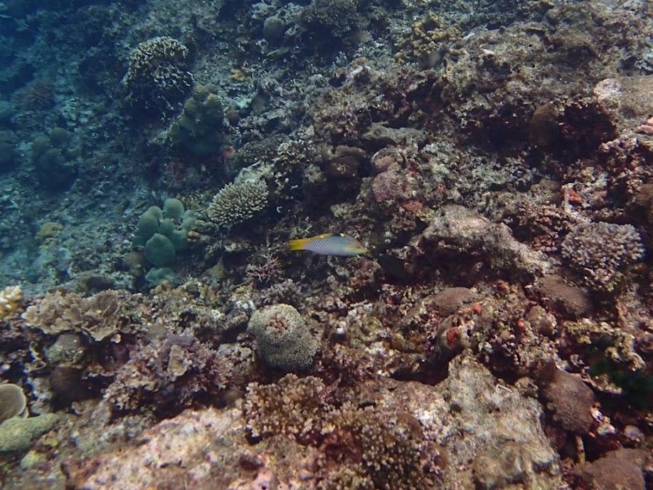 Halichoeres hortulanus (Marble Wrasse), Small Lagoon, Miniloc Island, Palawan, Philippines.