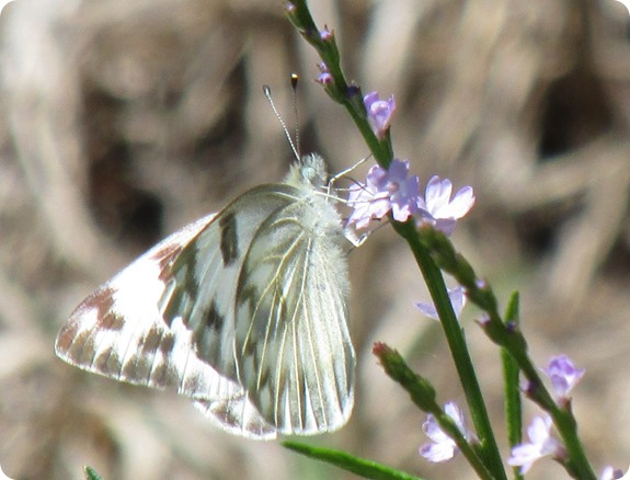 6f Checkered White Butterfly
