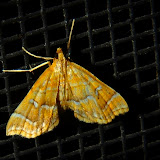 Crambidae : Pyraustinae : probablement Notarcha aurolinealis WALKER, 1859. Umina Beach (NSW, Australie), 26 octobre 2011. Photo : Barbara Kedzierski