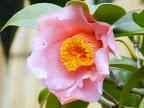 桃色 八重咲き 筒しべ 小輪
