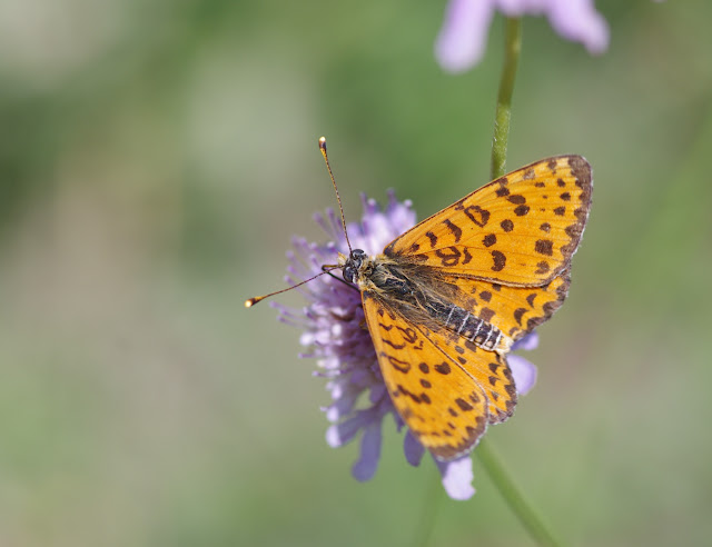 Melitaea didyma meridionalis Staudinger, 1870, mâle. Les Hautes-Courennes, Saint-Martin-de-Castillon (Vaucluse), 15 juin 2015. Photo : J.-M. Gayman