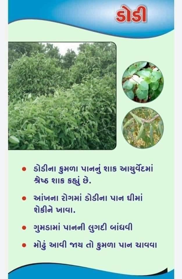 DODI TREE USE IN MEDICINE