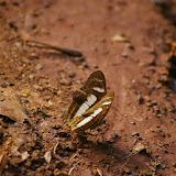 Metamorpha elissa HÜBNER, 1819 (?).  Entre Popote et Saül (Guyane), 1er décembre 2011. Photo : J.-M. Gayman