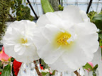 白色 牡丹〜唐子咲き 大輪