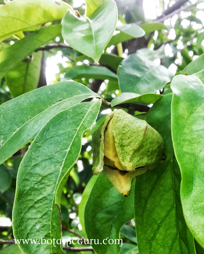 Annona muricata, Soursop, Prickly Custard Apple leaves