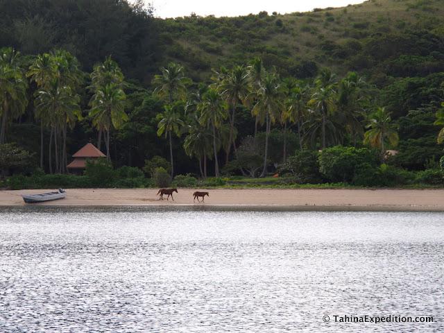 The friendly horses on the beach at Nanunanu