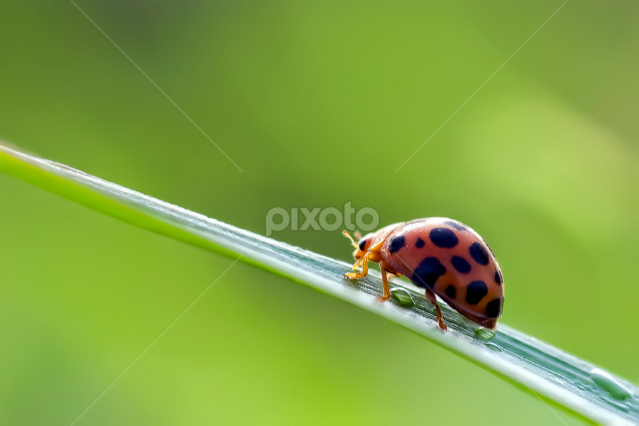 walk away by Laras Lesdiantoro - Animals Insects & Spiders ( wild, macro, insect, lady bug, animal )