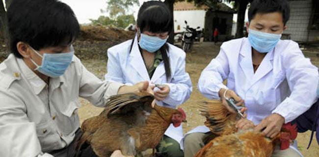 Flu Burung Mewabah Di Selatan Hubei, 17 Ribu Unggas Dimusnahkan