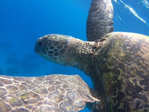 Green Sea turtle, Lady Elliot Island.