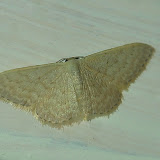 Geometridae : Sterrhinae : Idaea halmaea MEYRICK, 1888. Umina Beach (New South Wales, Australie), 16 mars 2011. Photo : Barbara Kedzierski