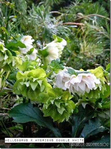 Protezione lumache-in estate semina Aquilegia-magnifico da guardare nell/'aiuola.