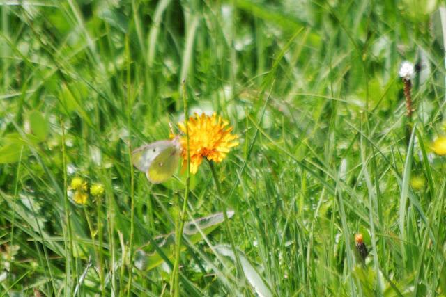 Colias phicomone (ESPER, 1780), femelle. Fex Curtins, 1900 m (Engadine, Grisons, CH), 11 juillet 2013. Photo : J.-M. Gayman