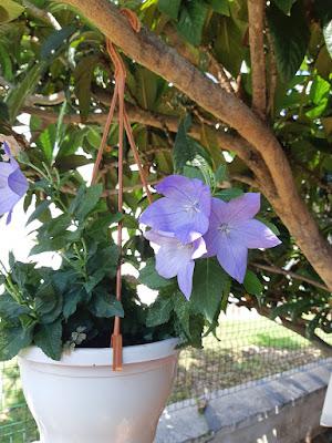 mavi balon çiçeği