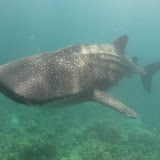 Philippines - Whale Sharks