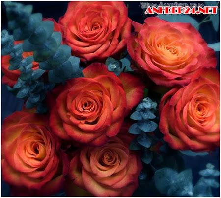 Ảnh hoa hồng đẹp – Anh hoa hong