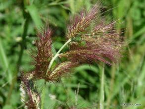 Photo: Foxtail barley (Hordeum jubatum)
