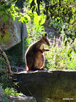 Brush-tail Rock-wallaby, Blackbutt Reserve  [2013]