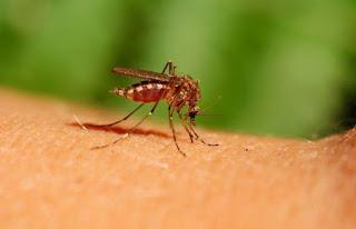 Des sommes colossales mobilisées pour des résultats dérisoires: El Tarf envahie par les moustiques