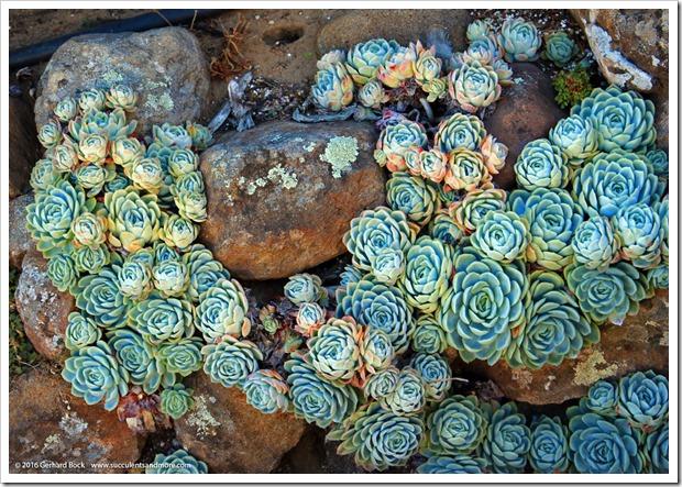 160924_SucculentExtravaganza_087_Echeveria-elegans