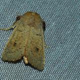 Noctuidae : Hadeninae : Leucania abdominalis WALKER, 1856. Umina Beach (N. S. W., Australie), 1er janvier 2012. Photo : Barbara Kedzierski